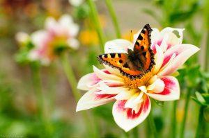 Schmetterling Dahlie Blume Insekt Aglais urticae