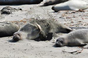 Kalifornischer Seelöwe Zalophus Californianus Sand werfen