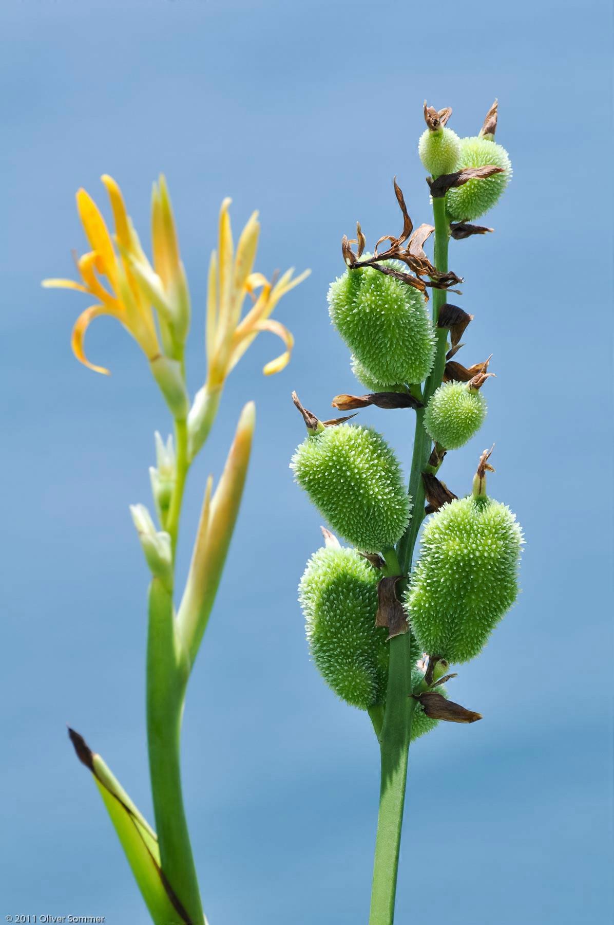 Blumenrohrgewächs Blumenrohr Canna Indica