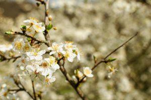 Kirschbaum Blüte Frühjahr Kirsche