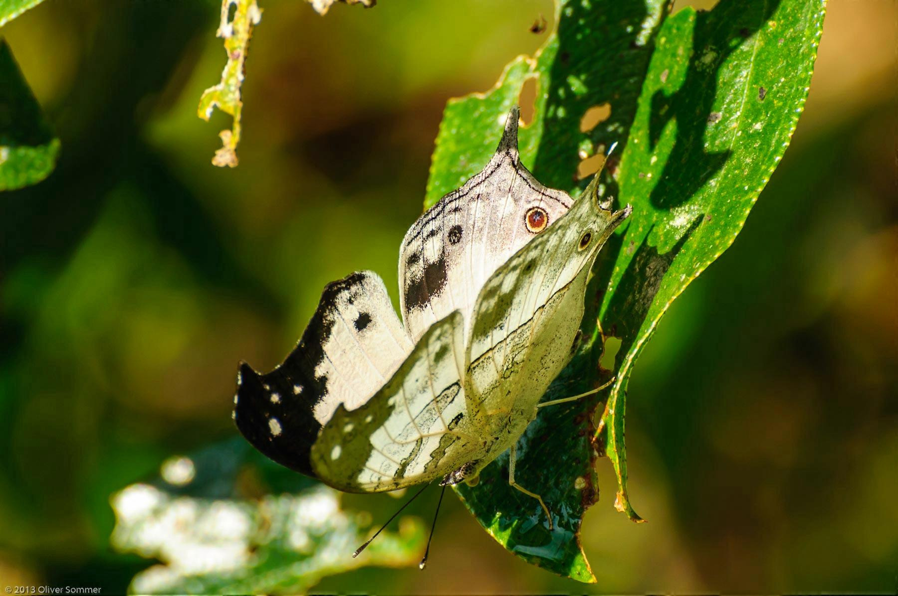 Clouded Mother-of-pearl Schmetterling Protogoniomorpha Anacardii Duprei