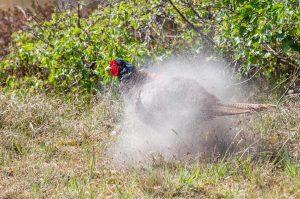 Fasan Phasianus colchicus Sandbad schütteln