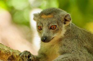 Ankarana Kronenmaki Eulemur Coronatus Madagaskar