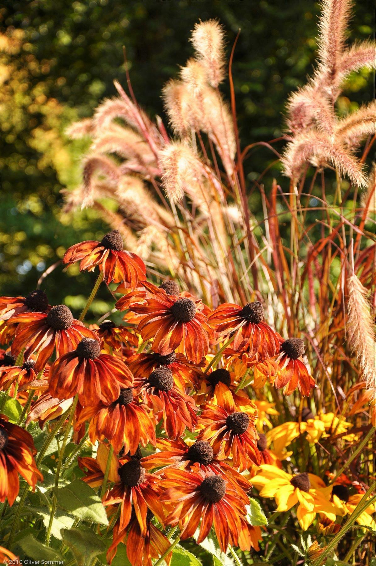Echinacea Sonnenhut Orange Scheinsonnenhut