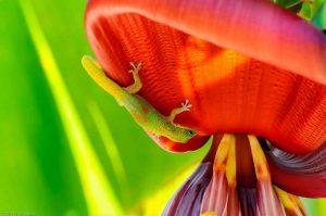 Goldstaub-Taggecko Phelsuma Laticauda Bananenbaum
