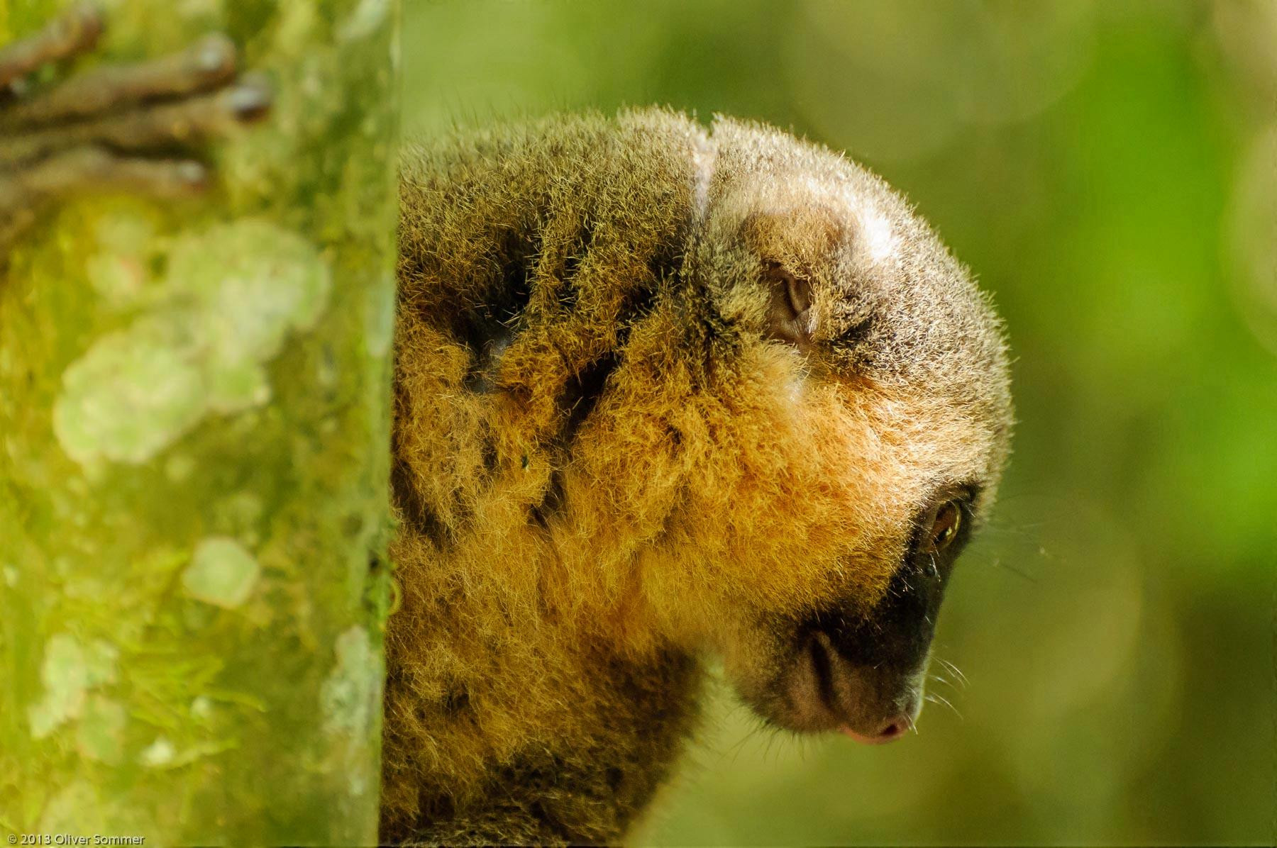 Goldener Bambuslemur Halbmaki Hapalemur Aureus Madagaskar Ranomafana