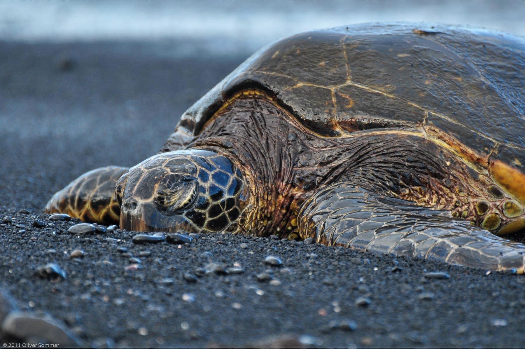 Suppenschildkröte Grüne Meeresschildkröte Chelonia Mydas Punalu'u