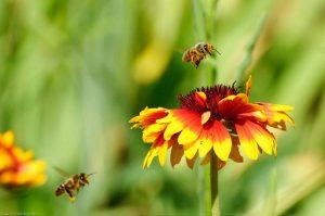 Westliche Honigbiene Apis mellifera Kokardenblume
