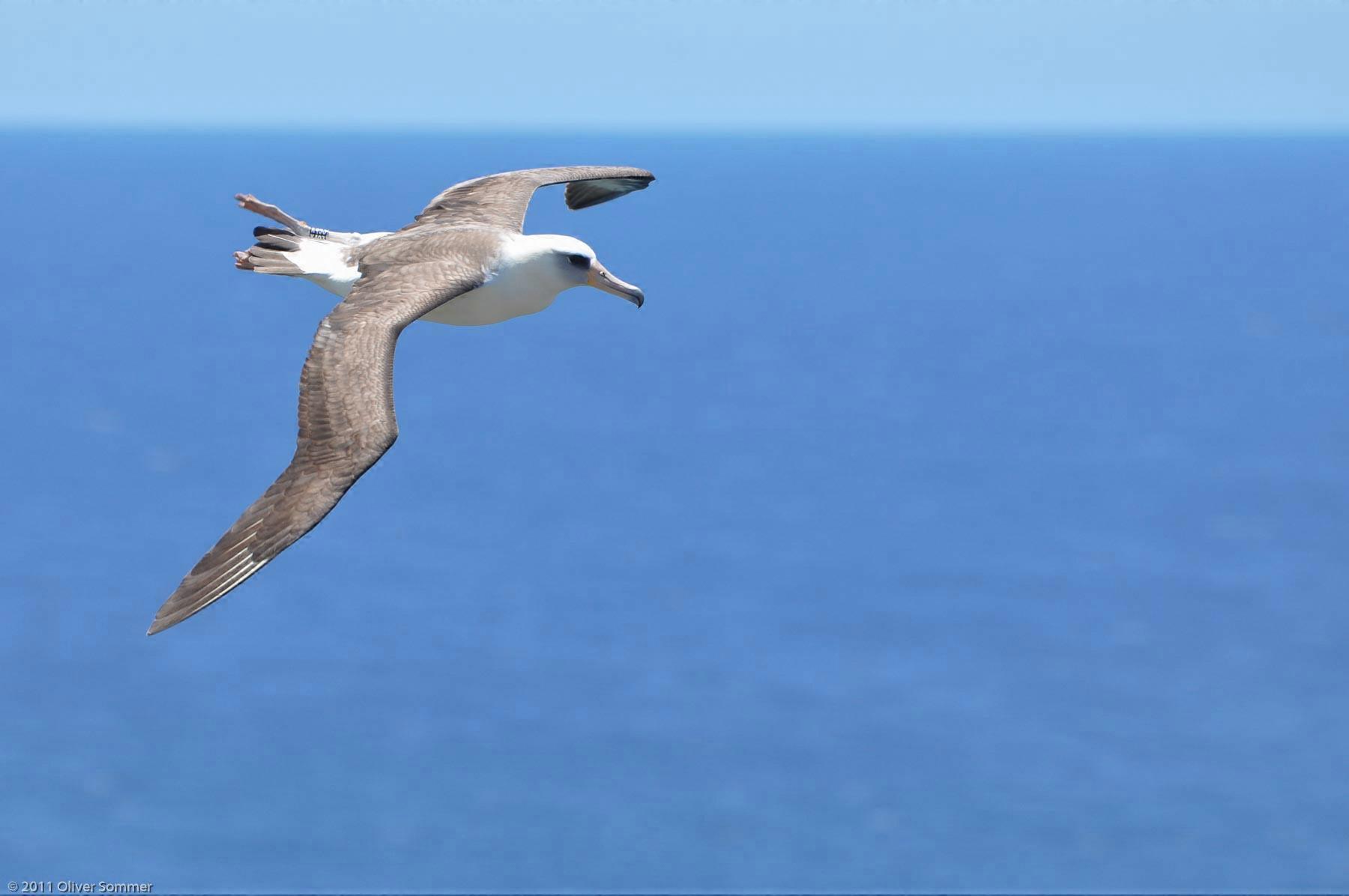 Laysan Albatross Phoebastria Immutabilis Vogel