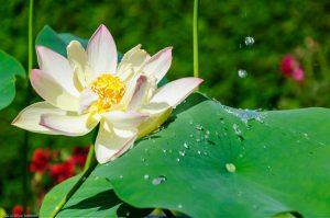 Wasser Tropfen Lotus Effekt Nelumbo Nucifera