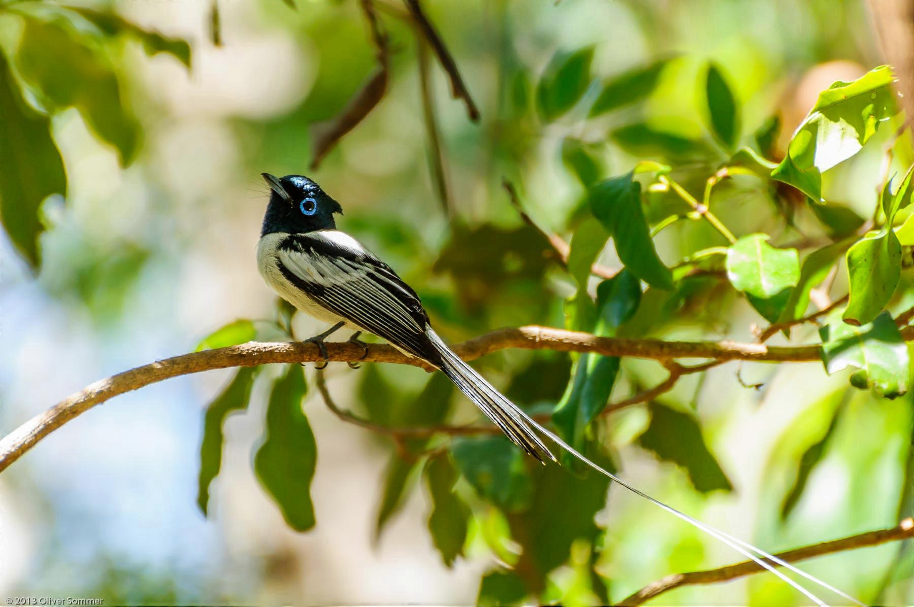 Madagaskar-Paradiesschnäpper Ankarana Terpsiphone Mutata