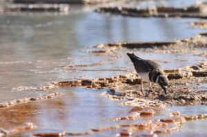 Vogel Mammoth Hot Springs Yellowstone Wasser