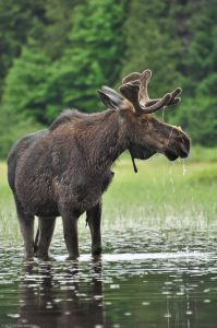 Alces Algonquin Elch Wasser See