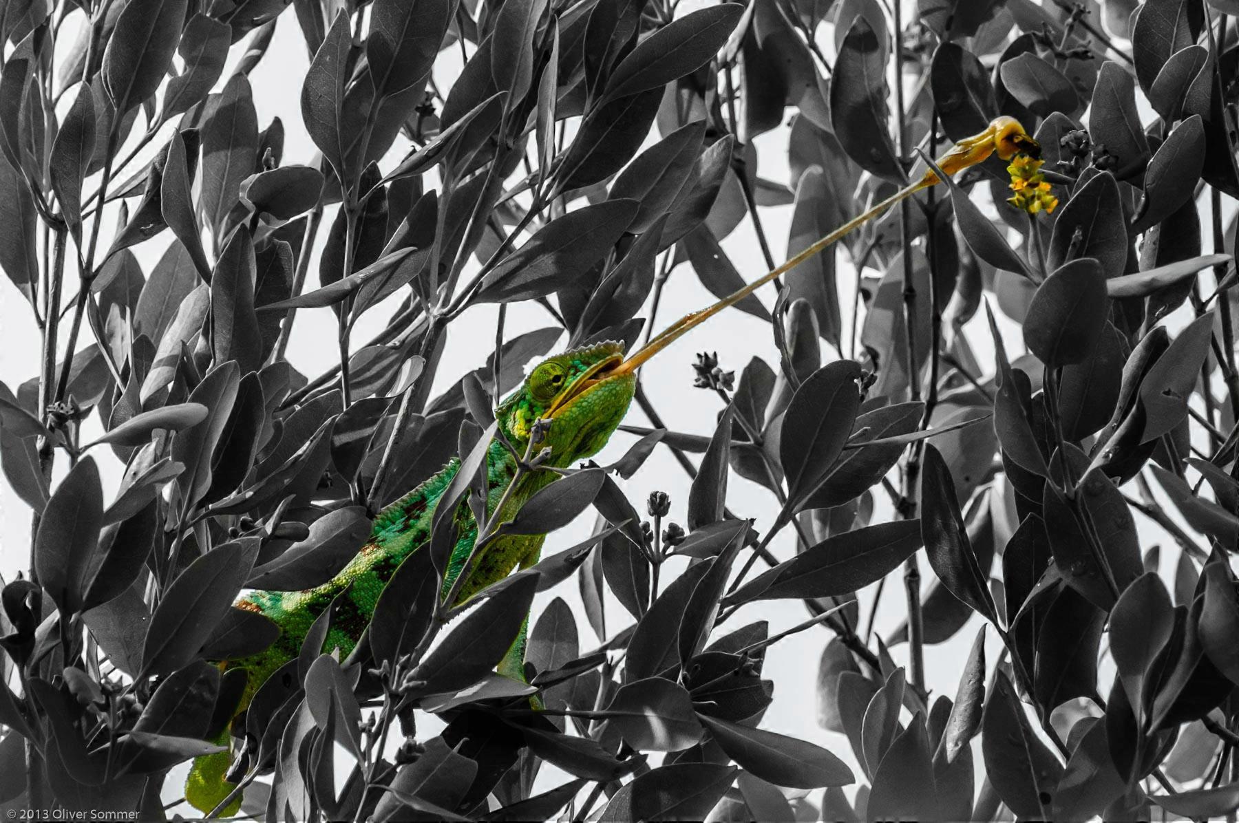 Furcifer Pardalis Madagaskar Pantherchamäleon Insektenfang Zunge