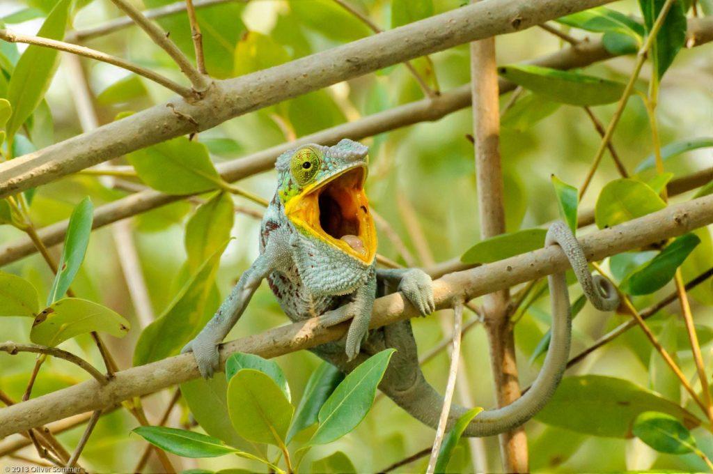 Furcifer Pardalis Madagascar Panther Chameleon mouth
