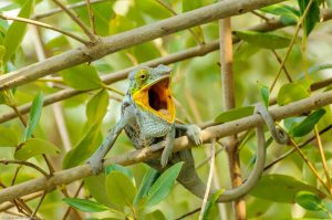 Furcifer Pardalis Madagaskar Pantherchamäleon Mund
