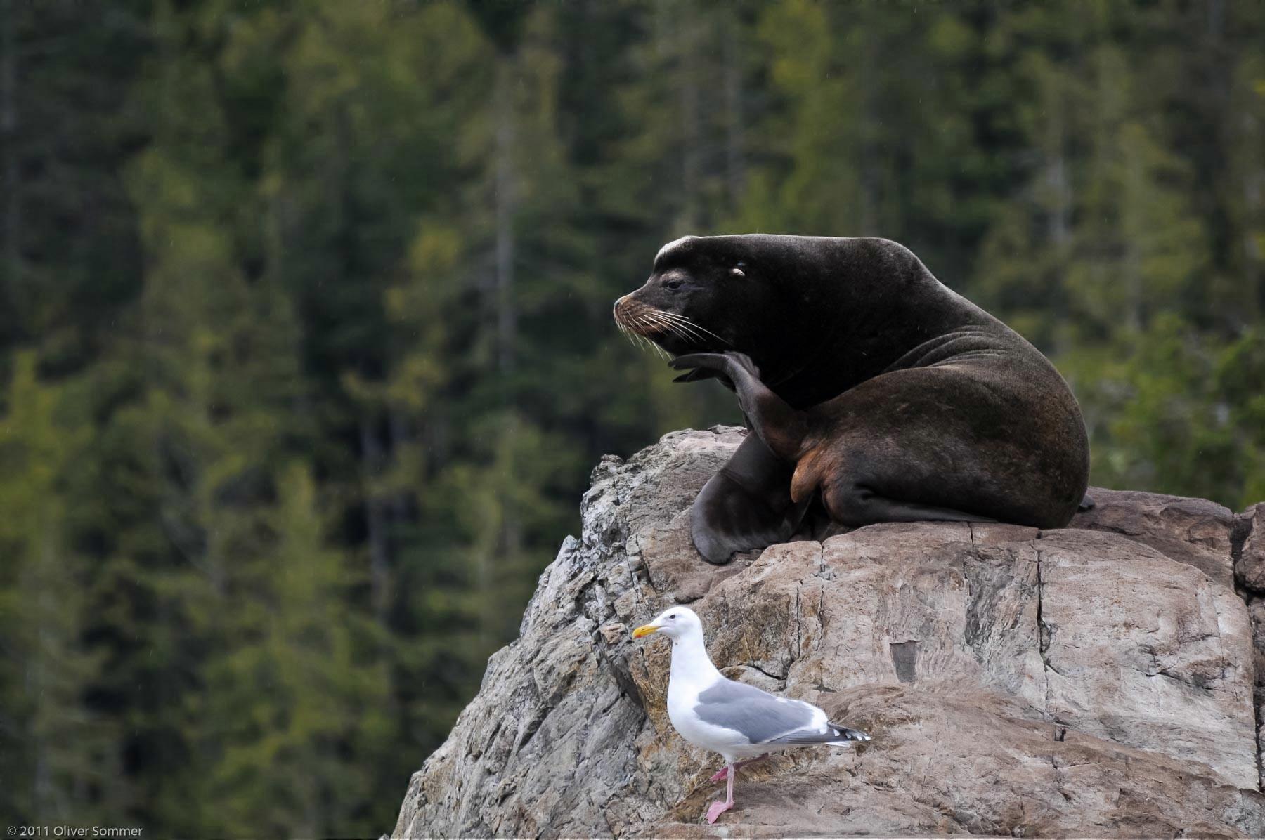 Kalifornischer Seelöwe Seemöwe Zalophus Californianus