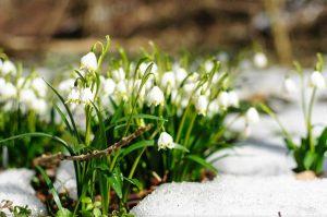 Frühlingsknotenblume Märzglöckchen Märzenbecher Leucojum vernum Schnee