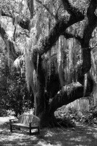 Spanisches Moos Louisianamoos Tillandsia usneoides Baum