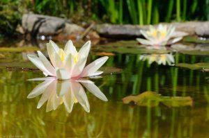 Nymphaeaceae Spiegelung Sonne Wasser Seerose