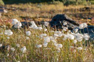Kungsleden Lappland Schweden Wollgras Sonne