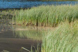 Kungsleden Lappland Schweden Abiskojaure Gras