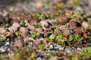 Kungsleden Lappland Preiselbeere Rentier Dung
